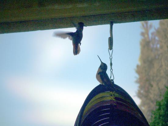 7.31.2010 Hummingbirds 02