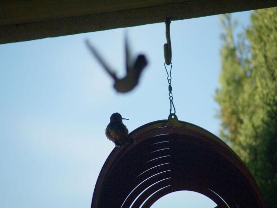 7.31.2010 Hummingbirds 14