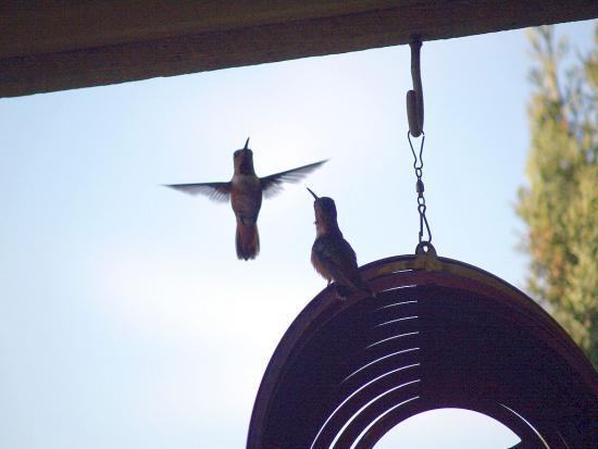 7.31.2010 Hummingbirds 16