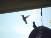 7.31.2010 Hummingbirds 18