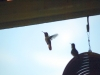 7.31.2010 Hummingbirds 19