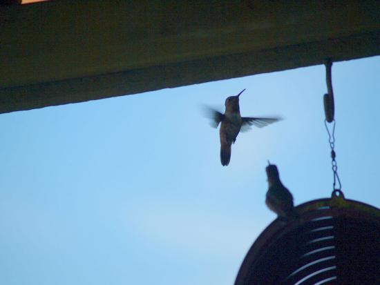 7.31.2010 Hummingbirds 20