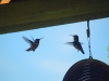 7.31.2010 Hummingbirds 21