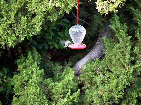 7.31.2010 Hummingbirds 24