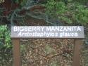 Bigberry Manzanita Arotostaphylos Glauca 3