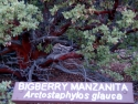 Bigberry Manzanita Arotostaphylos Glauca 4