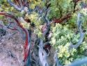 Bigberry Manzanita Arotostaphylos Glauca 5