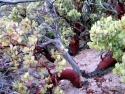 Bigberry Manzanita Arotostaphylos Glauca 6
