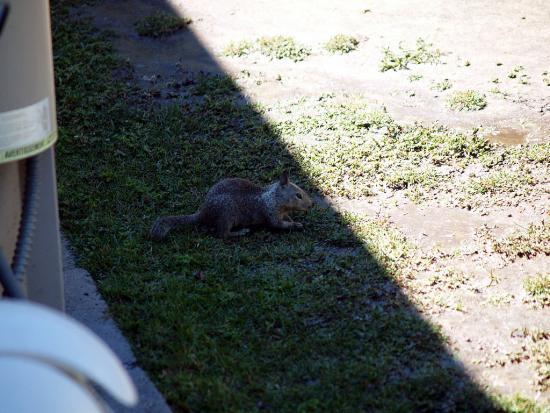 Grown Squirrel 1