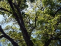 Black Walnut Tree  1