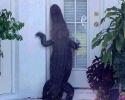 Alligator In Flordia