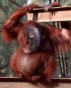 Elephant Head Orangutan