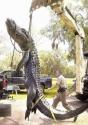 Alligator In Flordia 4