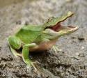 Gator Frog