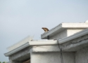Red-tailed Hawk With Dove  4