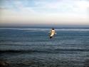 Pelican Long Beach  2