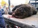 Bear On A Truck  2