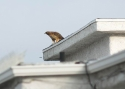 Close Up Hawk With Dove  4
