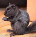 Panther Squirrel