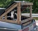 Redneck Cow Transport